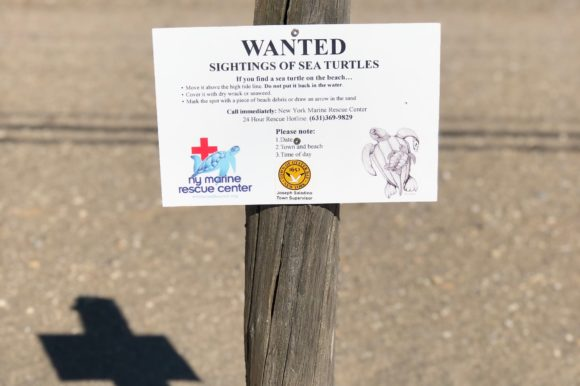 Councilman Labriola Cautions Residents to be on Lookout for Cold Stun Turtles