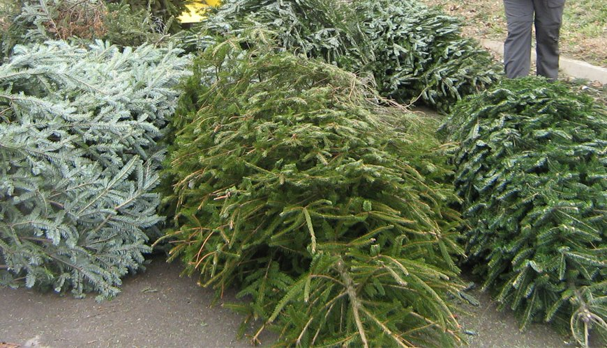 Saladino Announces Christmas Tree Drop-Off Locations